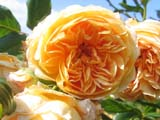 Princess Crown Margareta