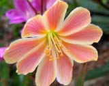 Lewisia Little Plum_окраска в начале цветения