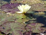 Nymphaea indet