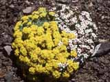 Alyssum_sp_Androsace