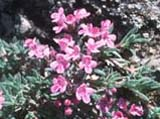 Thymus cilicicus